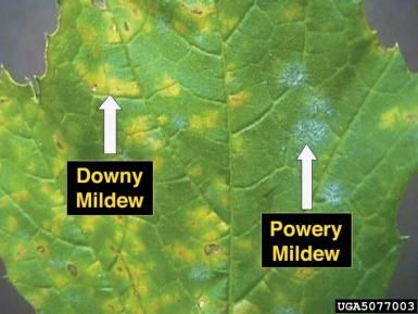 Powdery mildew is a spot disease infecting plant leaves, Learn more...: Powdery Mildews