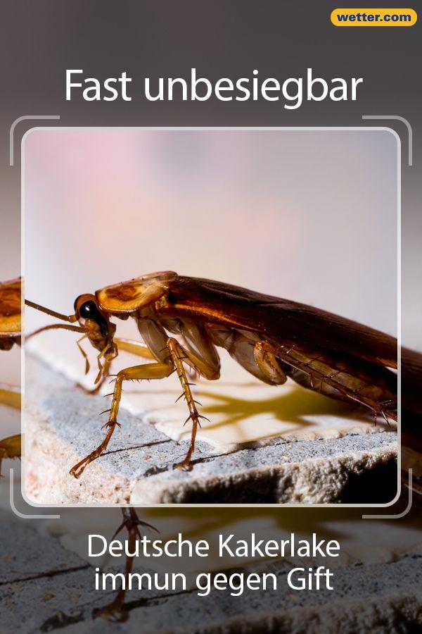 Fast Unbesiegbar Deutsche Kakerlake Immun Gegen Gift Kakerlaken Gift Insekten
