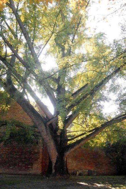 Ci sono anche i cedri di parco Massari, il ginkgo di palazzo Paradiso e alcune piante di parco Pareschi nell'elenco degli alberi monumentali di Ferrara selezionati e censiti dall'Ufficio Verde del...