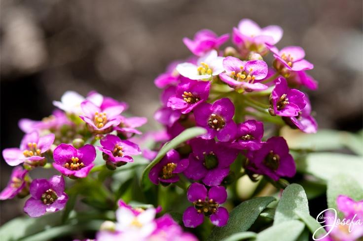 Purple flower in morning sunshine www.alwaysjosefa.com