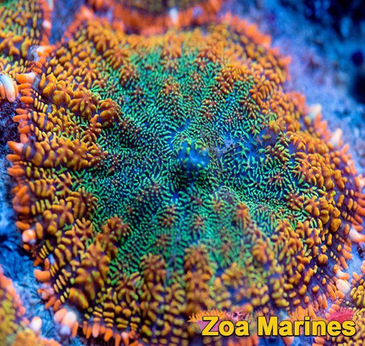 'Forest Fire' Ultra Rhodactis Shroom -. Stunning Corals! http://www.zoamarines.co.uk #coral #marine #reefkeeping #marineaquarium #frag #coralfrag #saltwatertank #saltwateraquarium #zoanthid #reeftank #frags #corals #zoa #marinetank
