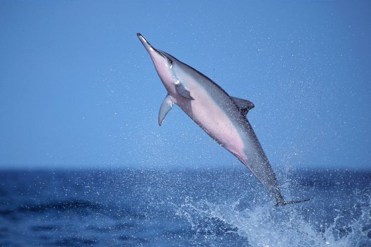 Spinner dolphins in the Hawaiian Islands