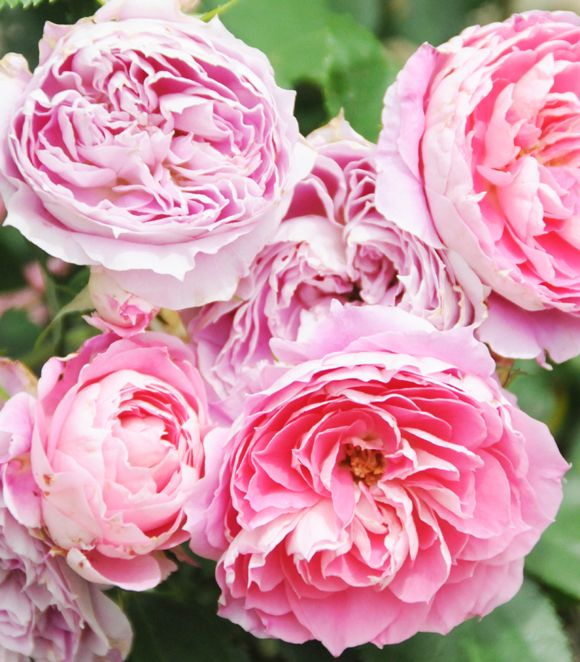 A Walk Through the Rose Garden - Home - Creature Comforts - daily inspiration, style, diy projects + freebies