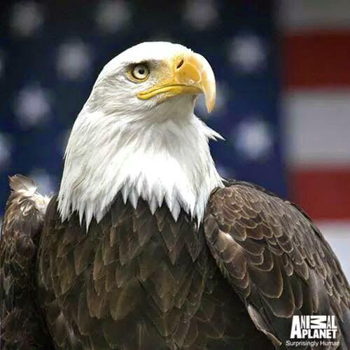Common Name: Bald Eagle, American Eagle // Scientific Name: Haliaeetus leucocephalus