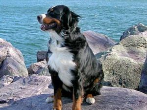 Bernský salašínsky pes