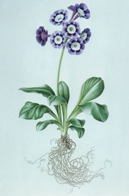 "Rory McEwan: ""Auricula 'Lady Drury' (Light Centred Alpine)"", 1963, watercolour on vellum, 42 x 32 cm, Private Collection."