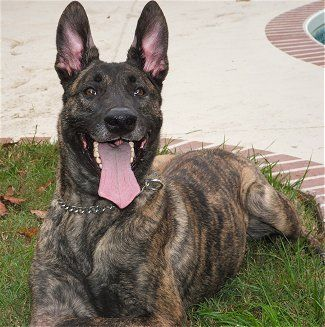 Dutch Shepherd -Short-hair: Short hair : All over the body, quite hard, close-fitting, not too short coat with woolly undercoat. Ruff, breeches and tail plume are clearly visible.