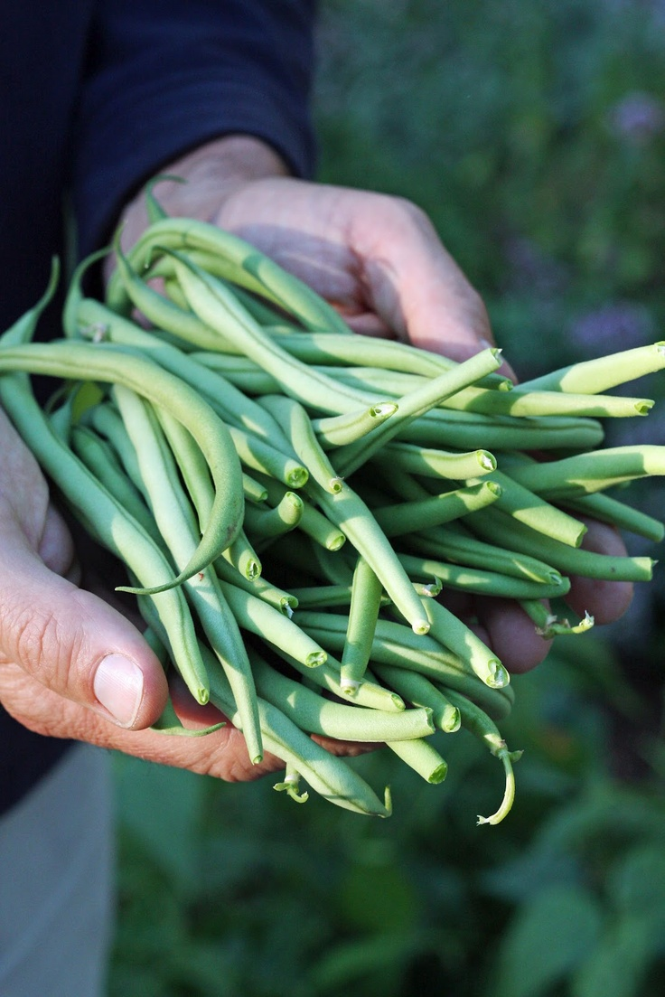 String beans--honey, I have broken up and canned so many of these, I could have fed a small army!