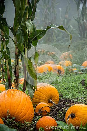 Field pumpkins interspersed with corn stalks on a foggy day.