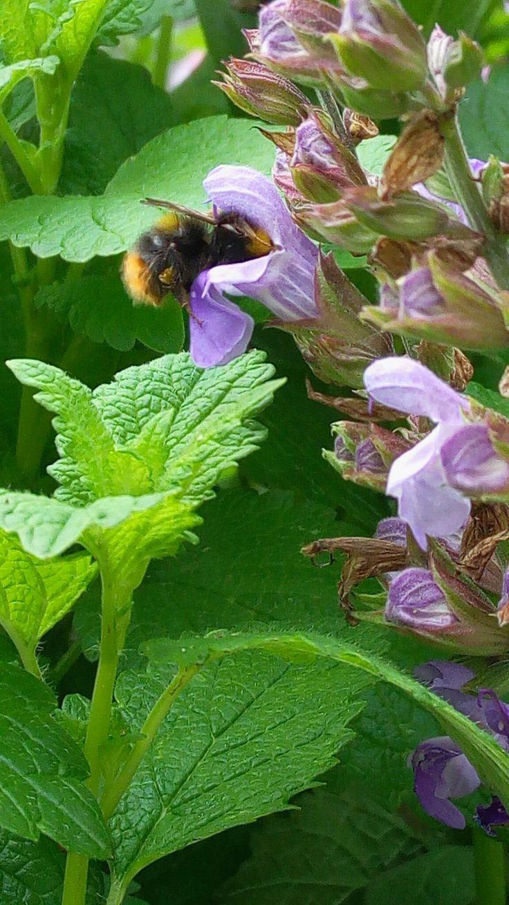 Čmelák zahradní (Bombus hortorum) Místo: na naší zahradě