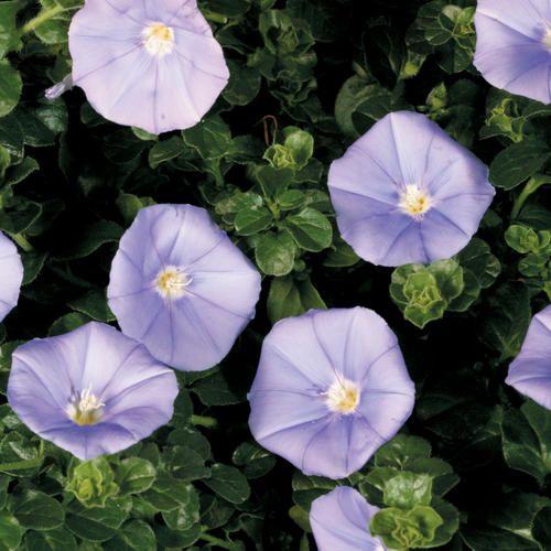 Blue Casbah® - Moroccan Glory Vine - Convolvulus sabatius, ground cover
