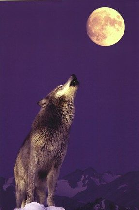Gray Wolf Howling At Moon