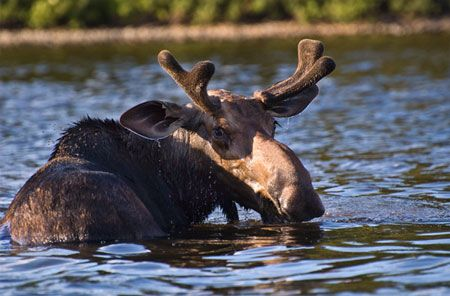 Moose in Acadia National Park~~this is one of the most beautiful places on earth! We love Maine in the Fall!