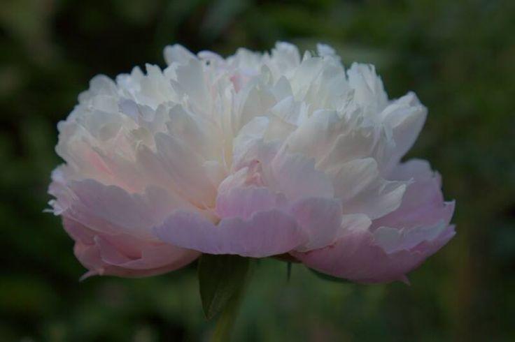 Peony in Mustila-pioni kukassa Mustilan kartanon puutarhassa kesällä 2014. Pionen blommar i Mustila gårdens trädgård.