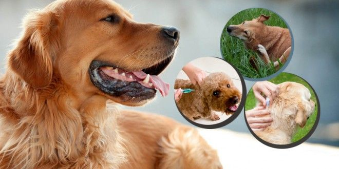 Most Common Type of Allergies in Dogs  #dogallergies #doginhalantallergy