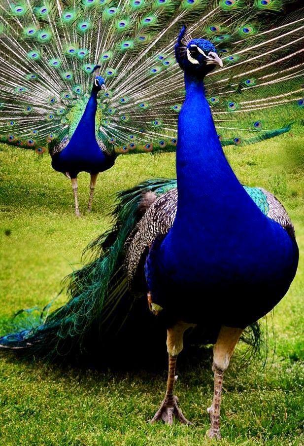 Peacocks - by Lj Lambert Photography - via Bird's Eye View @ www.Facebook.com/aBirdsEyeViewForYou