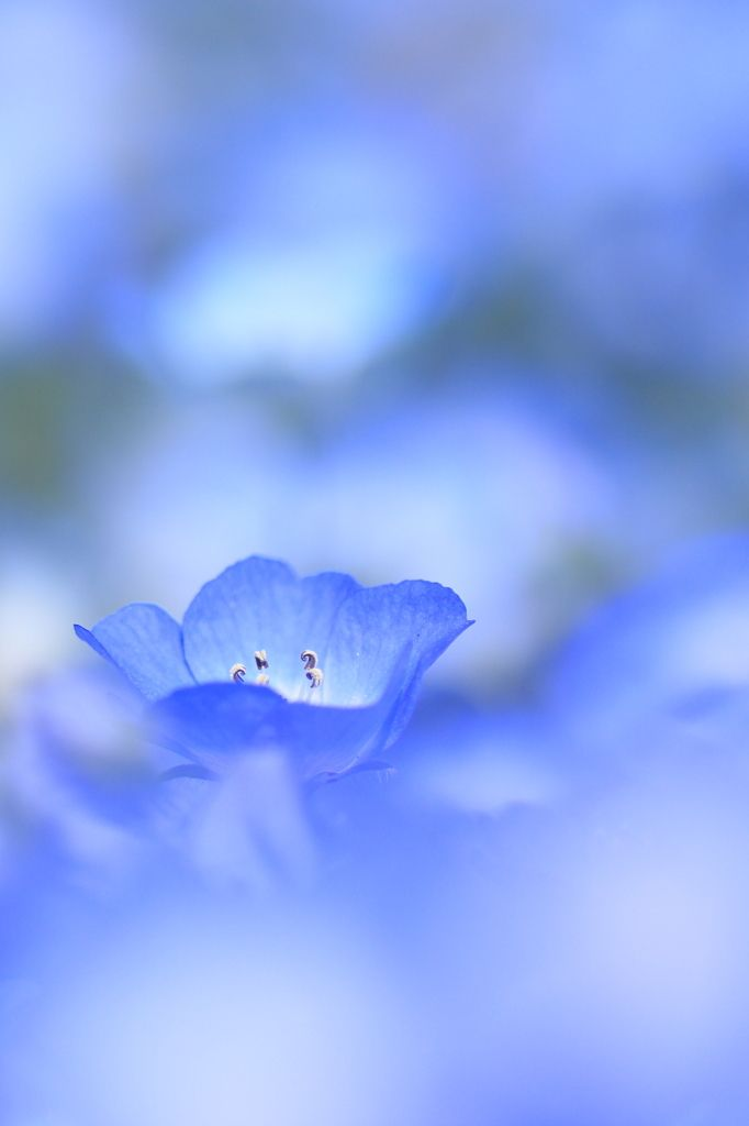 """baby blue-eyes""(Nemophila)- Hitachi Seaside Park in Hitachinaka, Ibaraki, Japan"