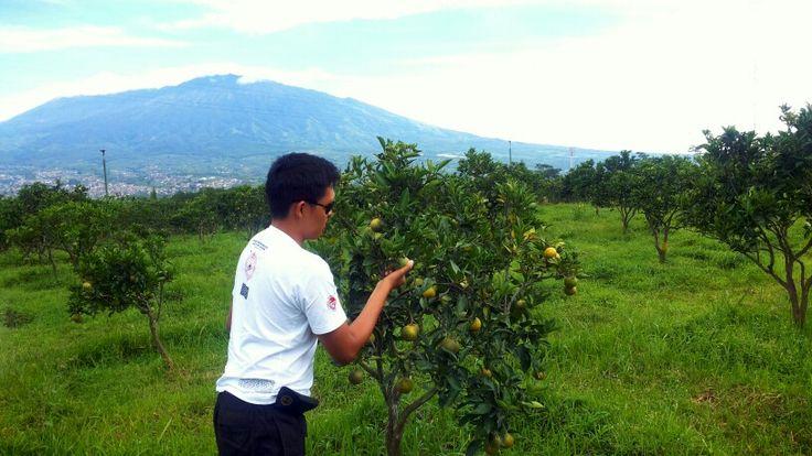 Batu Apple and Orange Farm... #farm #green #holiday #tree #fruit