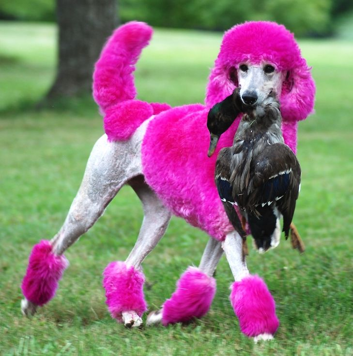 Curly Angel Maisy The Model Poodle Poodle Dog Breeds Dog Stories