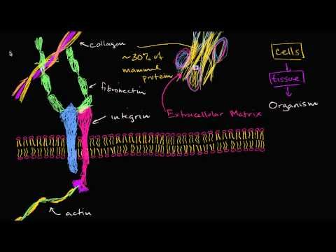 Extracellular matrix | Extracellular structures and cell-cell junctions | Khan Academy