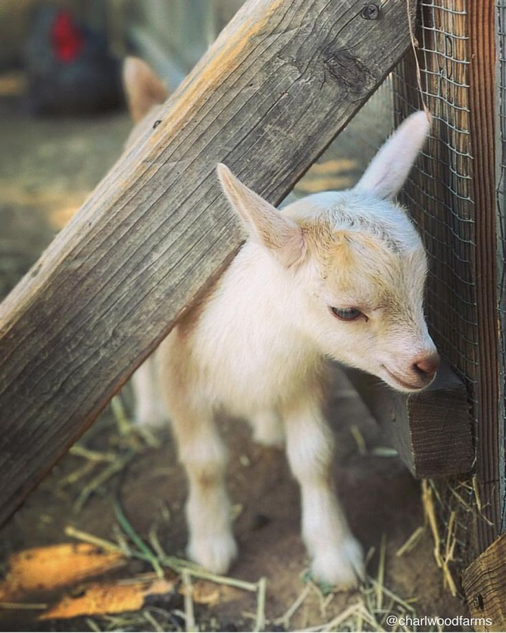 Just a teensy weensy dose of fingerling cuteness for your Sunday morning viewing pleasure ||@lauren_marsh  #frenchfry   #babygoat   #thecharlwoodherd