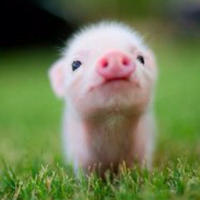 Cute Small Animals | Oink. So Cute and little. | Animals