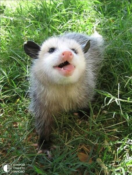 meltinguniverse submitted to opossummypossum: A... - Opossum, my Possum