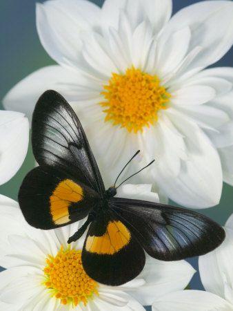 <3...Butterflies - Miyana Meyeri Butterfly on Flowers, so pretty!