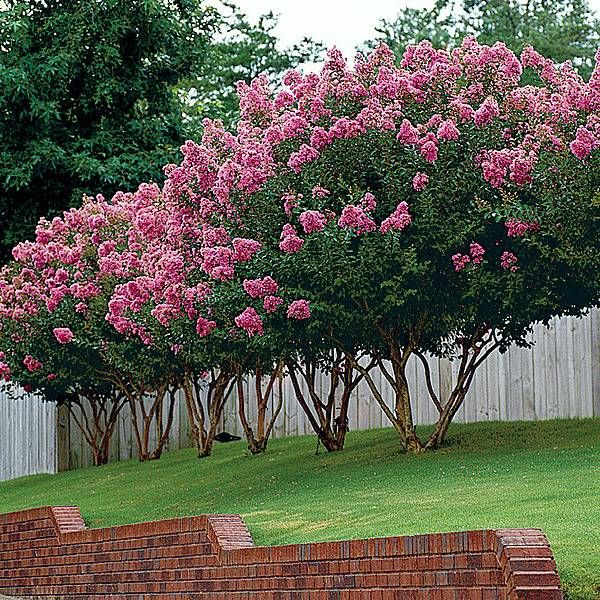 Crepe Myrtle Pruning Step-by-Step | Beautiful gardens
