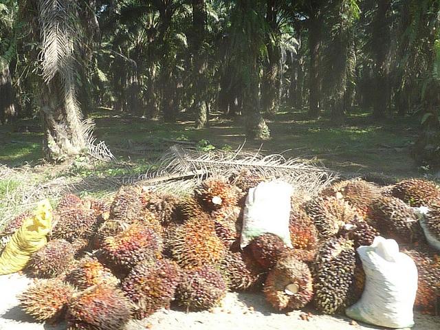 Visita al Valle del Polochic, camino de regreso atravesando más de 100km de cultivo de palma africana
