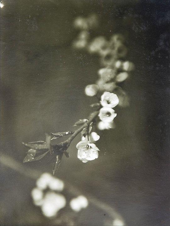 Josef Sudek/ Blossom. 1968/ vintage silver print. 20 x 25.7 cm. (7 7/8 x 10 1/8 in.)