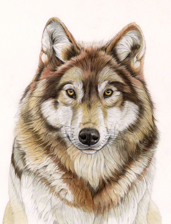 European Wolf © Patrizia Donaera