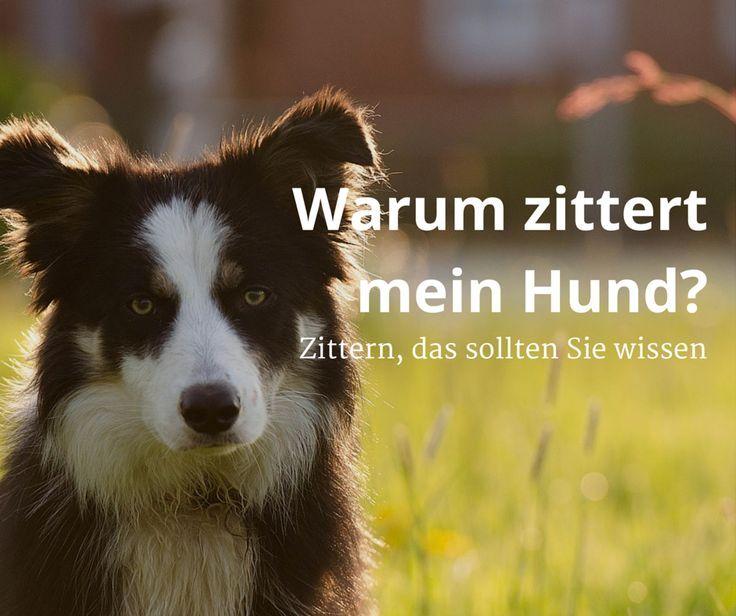 Warum zittert mein Hund? Zittern, das sollten Sie wissen – GutesHundefutterOhneGetreide.de