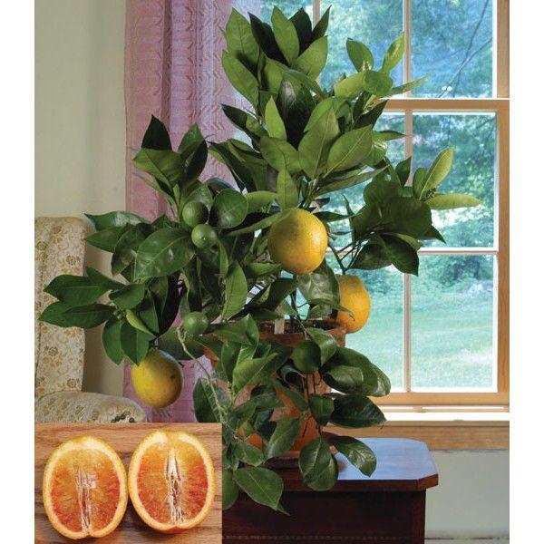 Blood Orange 39 Sanguinelli 39 Citrus Sinensis Fruiting