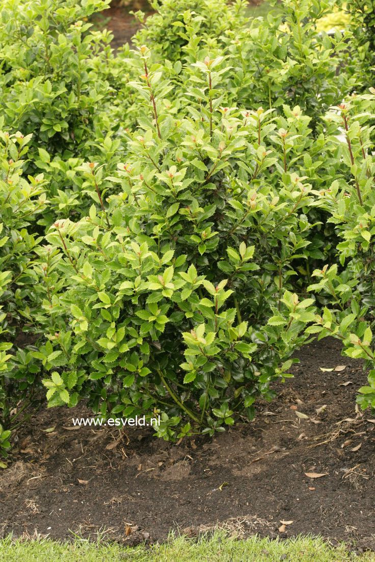 Ilex meserveae 39 heckenpracht 39 fast growing very hardy for Fast growing fence covering plants