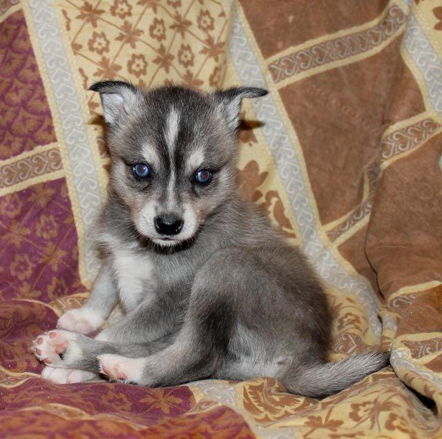 25 best ideas about miniature husky for sale on pinterest. Black Bedroom Furniture Sets. Home Design Ideas