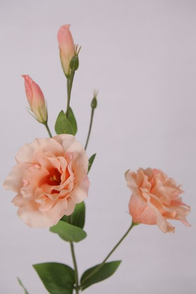 Soft peach lisianthus for the bridal bouquet