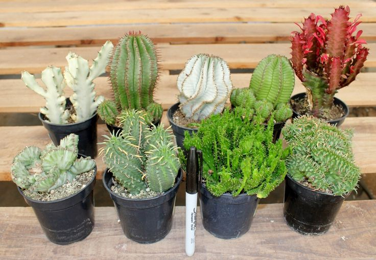 Best 25 cactus for sale ideas on pinterest Cactus pots for sale