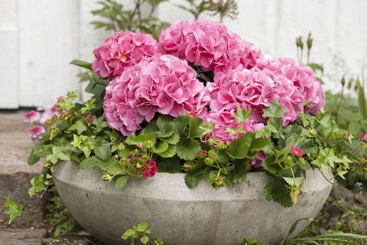 En flott sammenplanting av hortensia, jordbær og eføy i stor fiberclay potte.