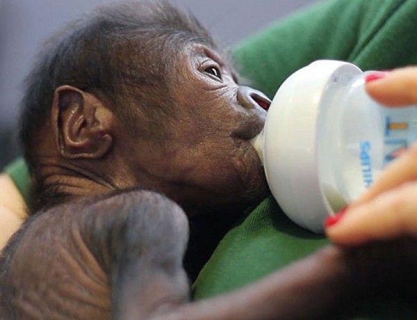 Hayata gözlerini sezeryanla açan yavru goril İngiltere'de bir hayvanat bahçesinde goriller üzerinde nadir gerçekleştirilen sezeryan operasyonla bir yavru goril dünyaya geldi. Detaylar ajanimo.com'da.. #ajanbrian #ajanimo #goril #yavru #sezeryan #ameliyat #operasyon #hayvan #animal #primat #baby #bebek