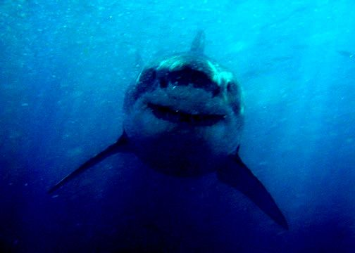 SAVE THE GREAT WHITE SHARKS - ABC4EXPLORE - WHITE SHARK TRUST - ANDY BRANDY CASAGRANDE IV