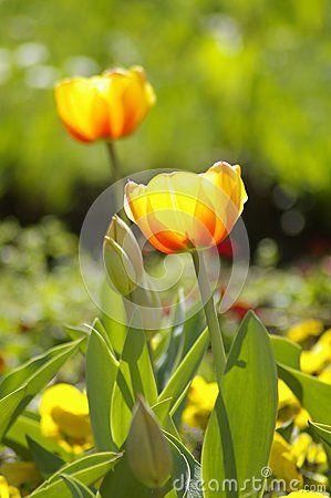 Closeup tulips growing in flowerbed