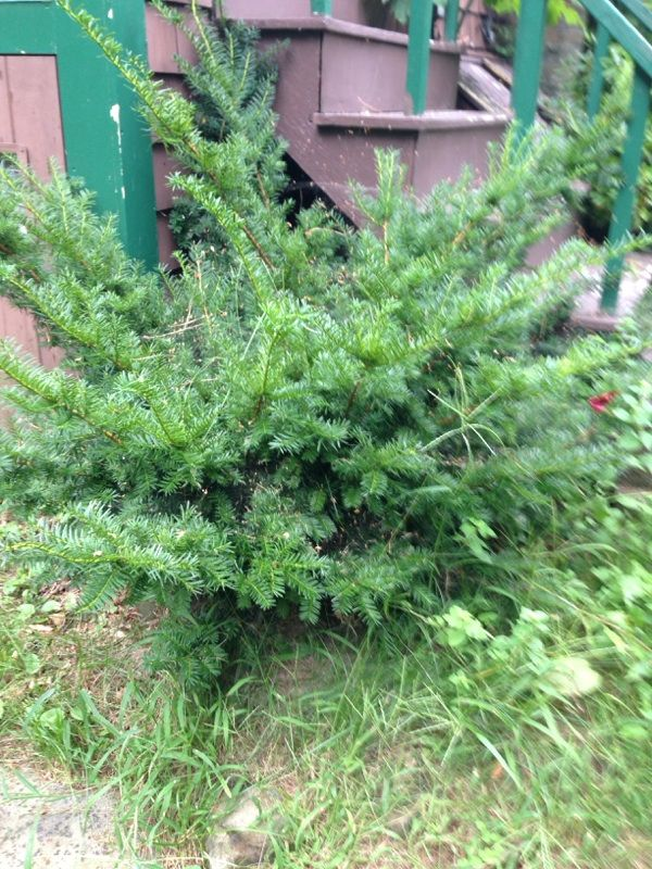 """Yew (taxus baccata): This is a yew. New growth on a yew is apple-green, turning dark as it ages. Yew is one of the few conifers that will """"break"""" - that is, grow new leaves - from old wood. That's one reason it's such a fine hedge plant: it can take a trimming. Red berries often decorate the shrub in late summer and fall. This evergreen shrub grows best in full sun and regular moisture."""