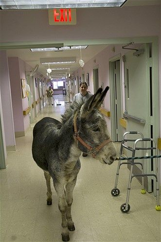 Henry the Donkey is a therapy animal who visits residents in the hospital.
