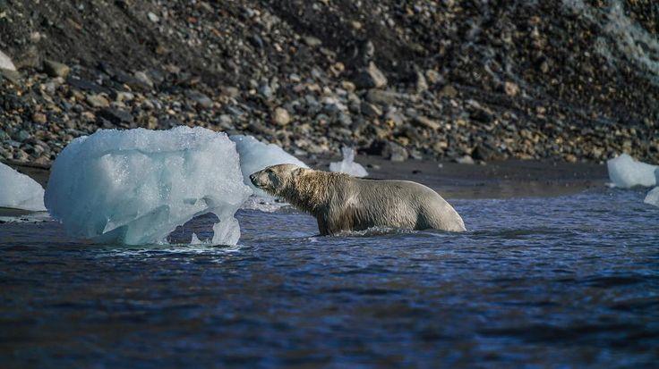 Polar bears, like real men are dirty, ugly and hairy 🐻❄️😎 #polarbear #sonya7RII #Arctic #NorthPole [ Location: Svalbard, Norway ] #BurnTheBucketlist 🔥 Follow us on Facebook or Instagram @burn_the_bucketlist 😉