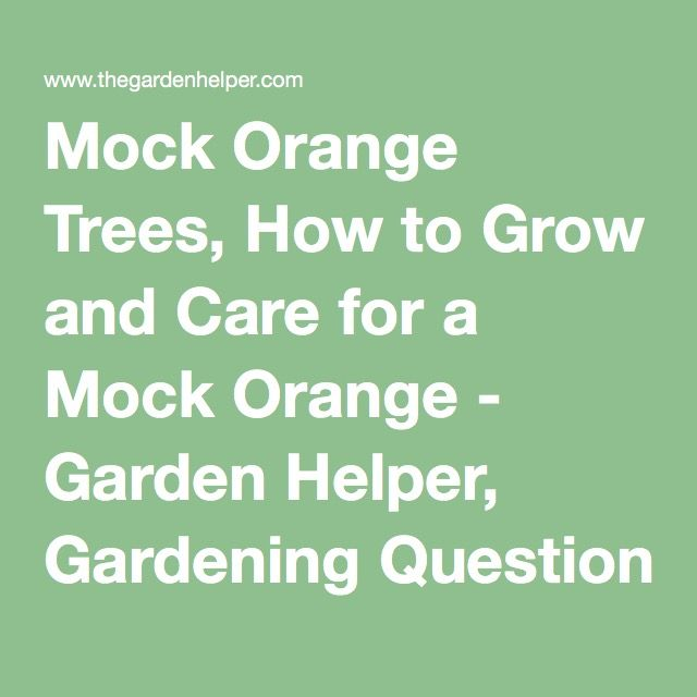 Mock Orange Trees, How to Grow and Care for a Mock Orange - Garden Helper