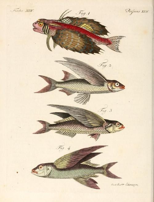 biomedicalephemera:  Flying fish! 1. La Rondole 2. Le Muge volant 3. Le Pirabebe 4. Le Mesogastre, ou l'Adonis Porte-feuille instructif et a...