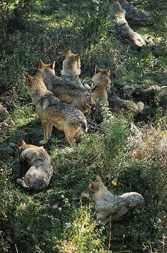 Wolf Pups and Other Family Members Near the Den.