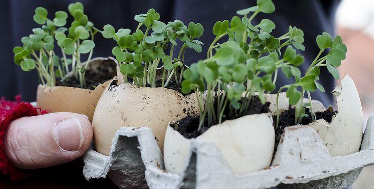 Rasadurile in coji de ou sau in ghivece de carton, sunt cele ideale, in sensul ca, din dragoste pentru natura, militam pentru utilizarea materialelor biodegradabile.    Imi este foarte drag atunci cand, odata ce plantez rasadurile in