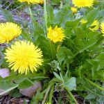 Feeding dandelions to dogs has amazing health benefits #pethealth